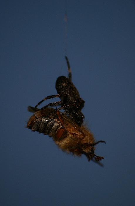 Spinne vs. Junikäfer