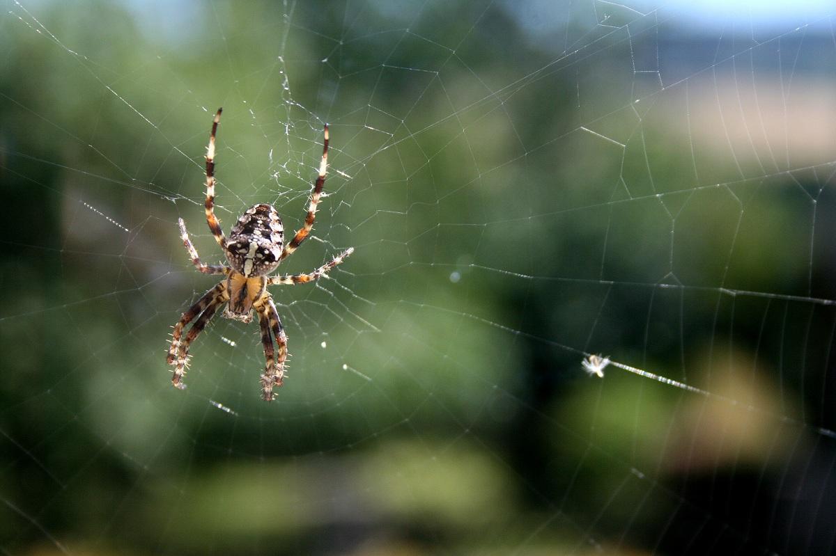 Spinne (Weiß jemand um welche Art es sich handelt?)