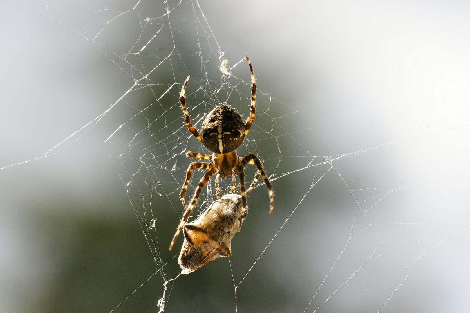 Spinne/ Zurück zum Opfer