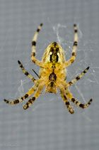 Spinnen-Mahlzeit 3
