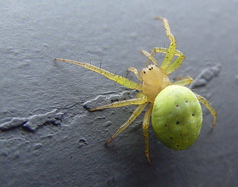 Spinnen-Makro