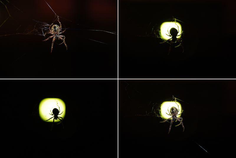 Spinnen-Quartett