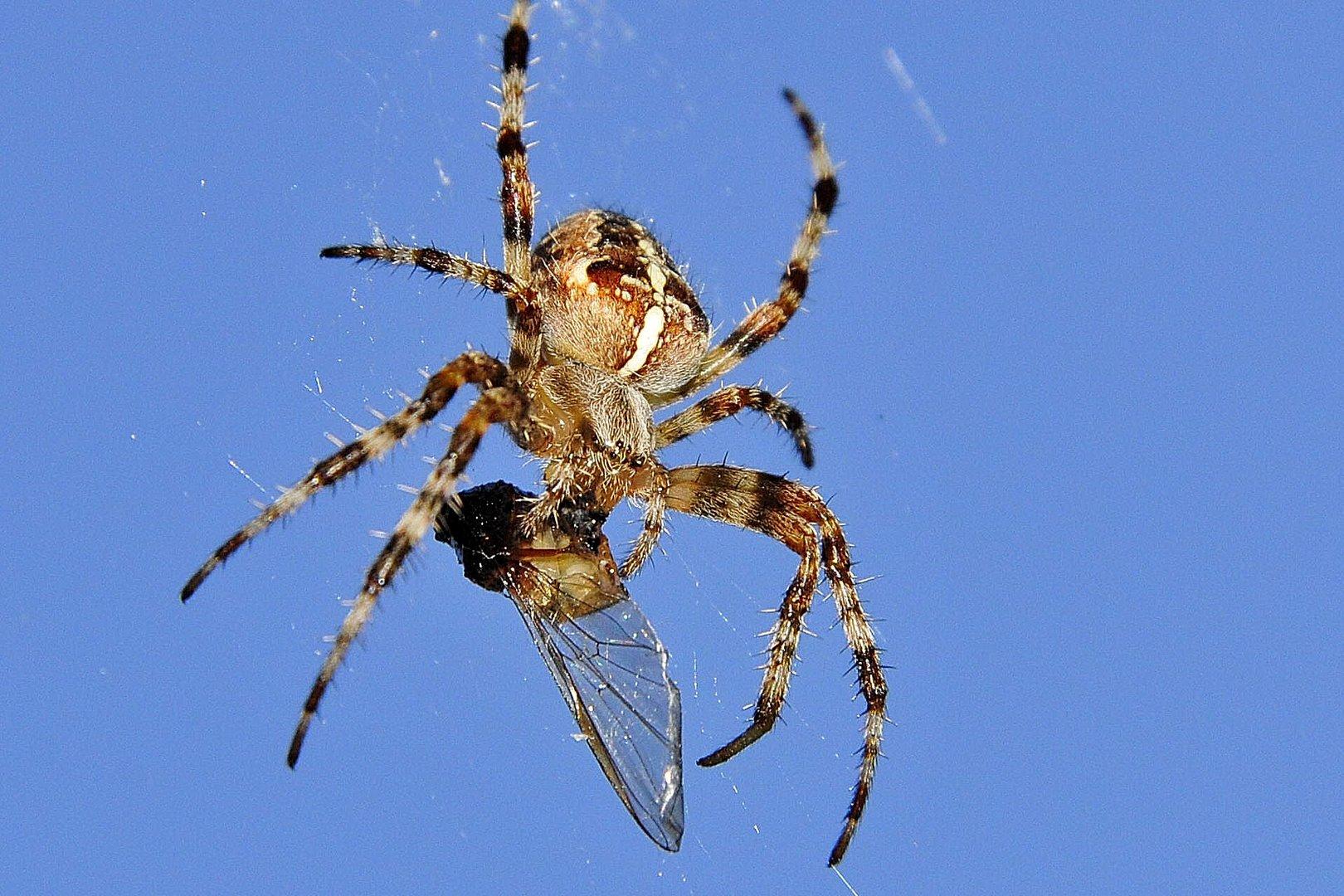 Spinnen-Snack
