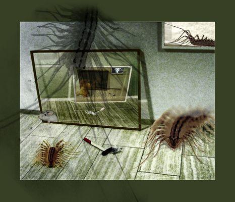 spinnenassel