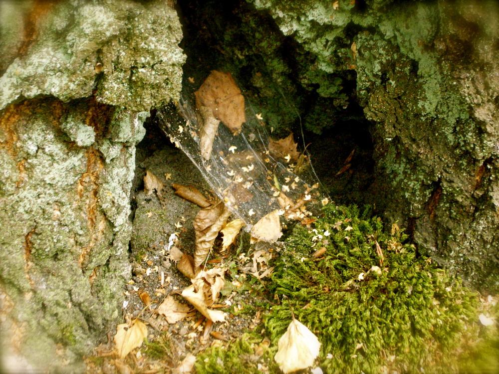 Spinnenbaum