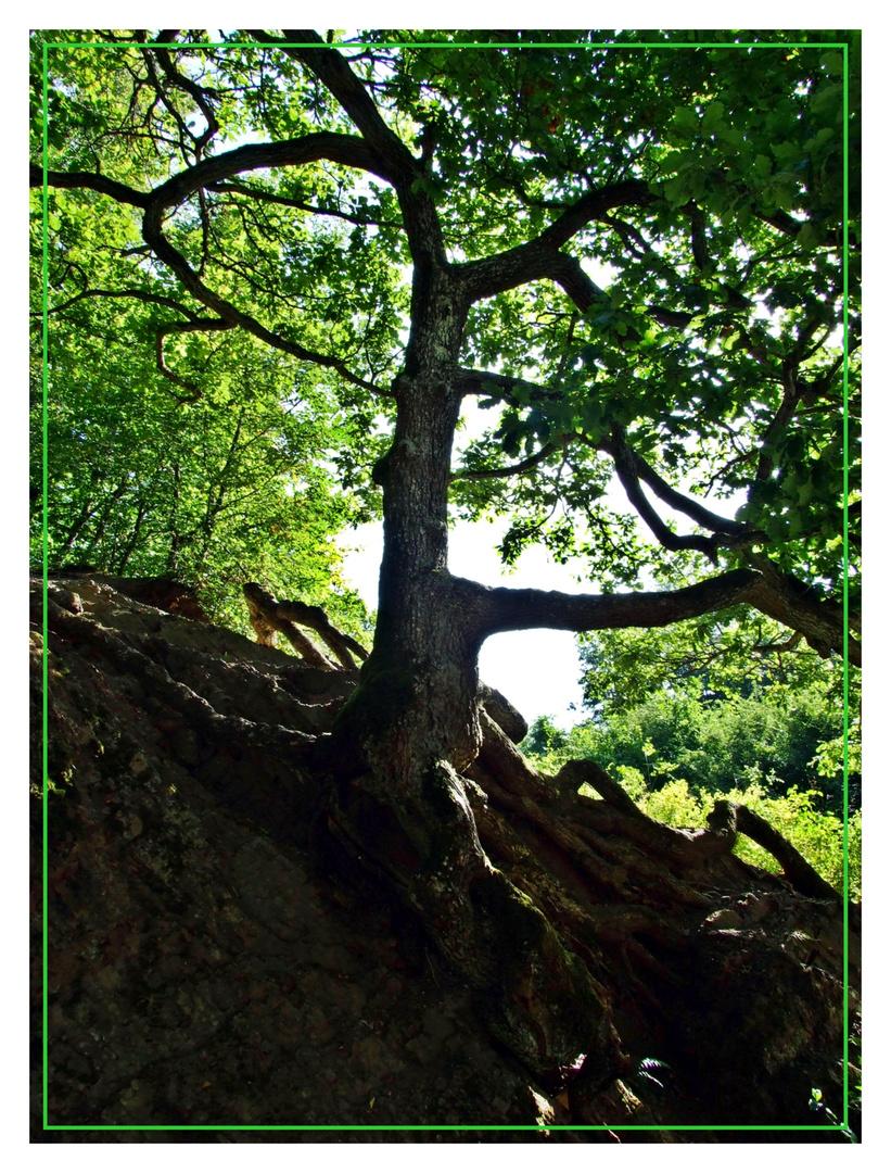 Spinnenbaum oder Verwurzelt