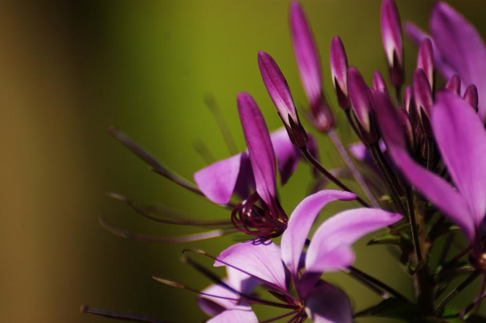 Spinnenblume 1