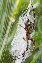 Spinnendusche