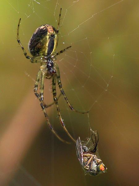 Spinnenfrühstück