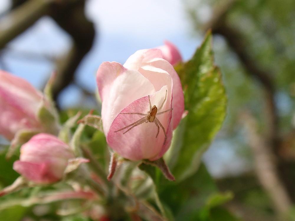 Spinnenjagd auf einer Rose