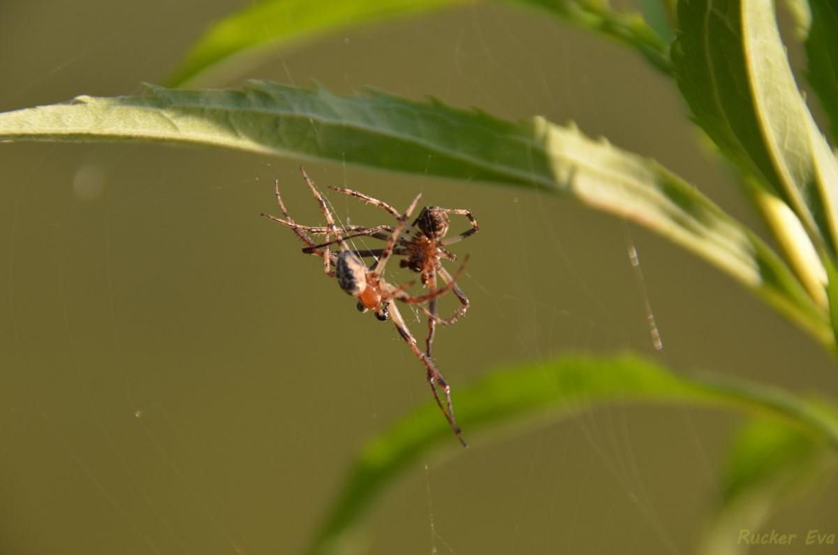 Spinnenkampf
