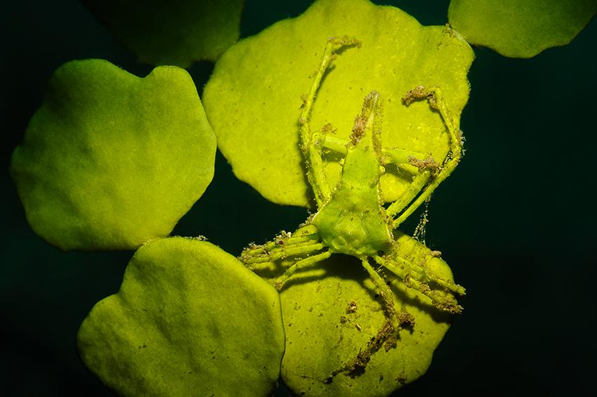 Spinnenkrabbe auf Halimeda-Alge