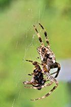 Spinnenmahl