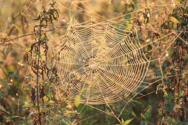 Spinnennatz im Morgentau