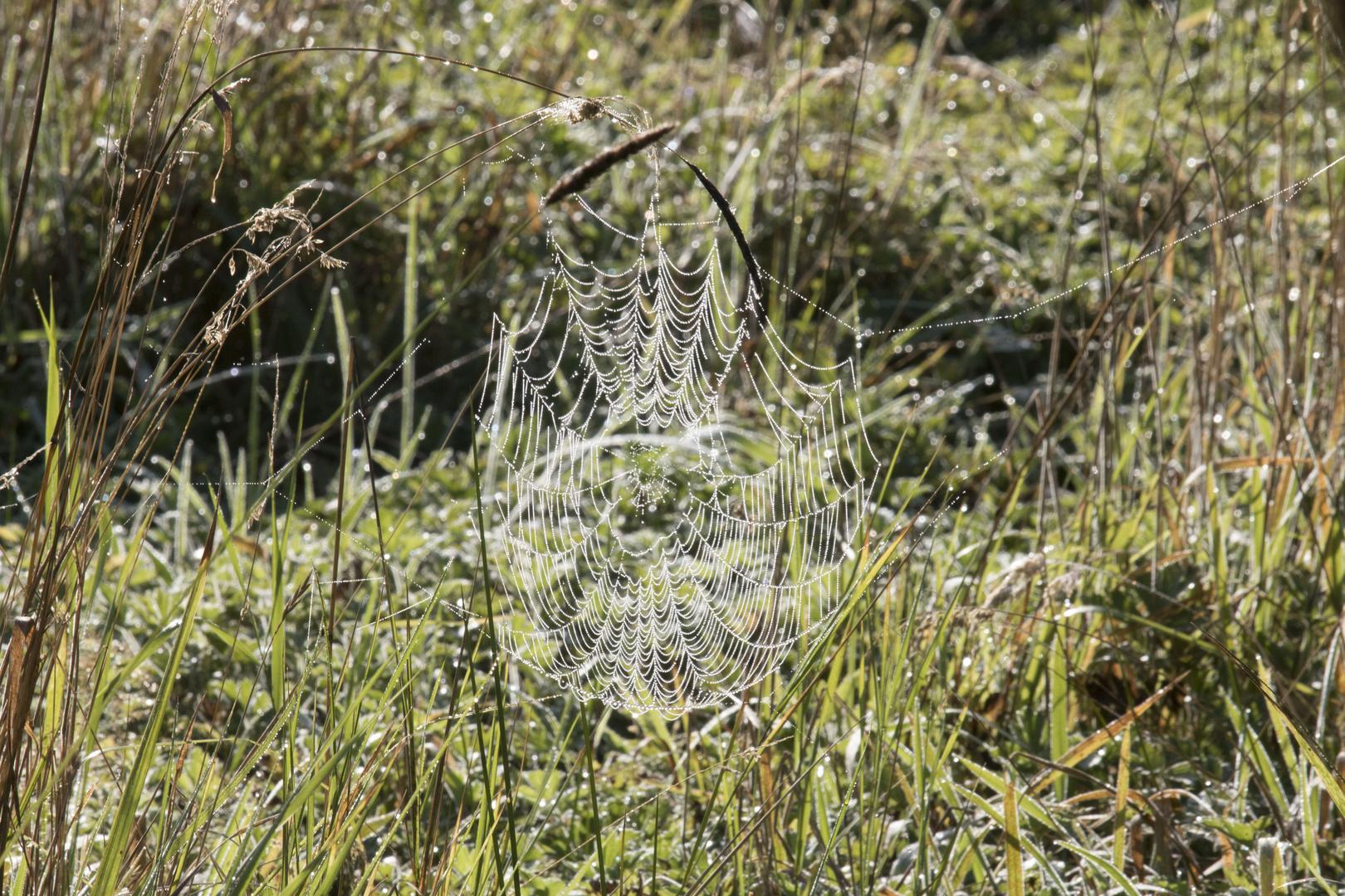 Spinnennetz Altweiber Sommer 2016_5