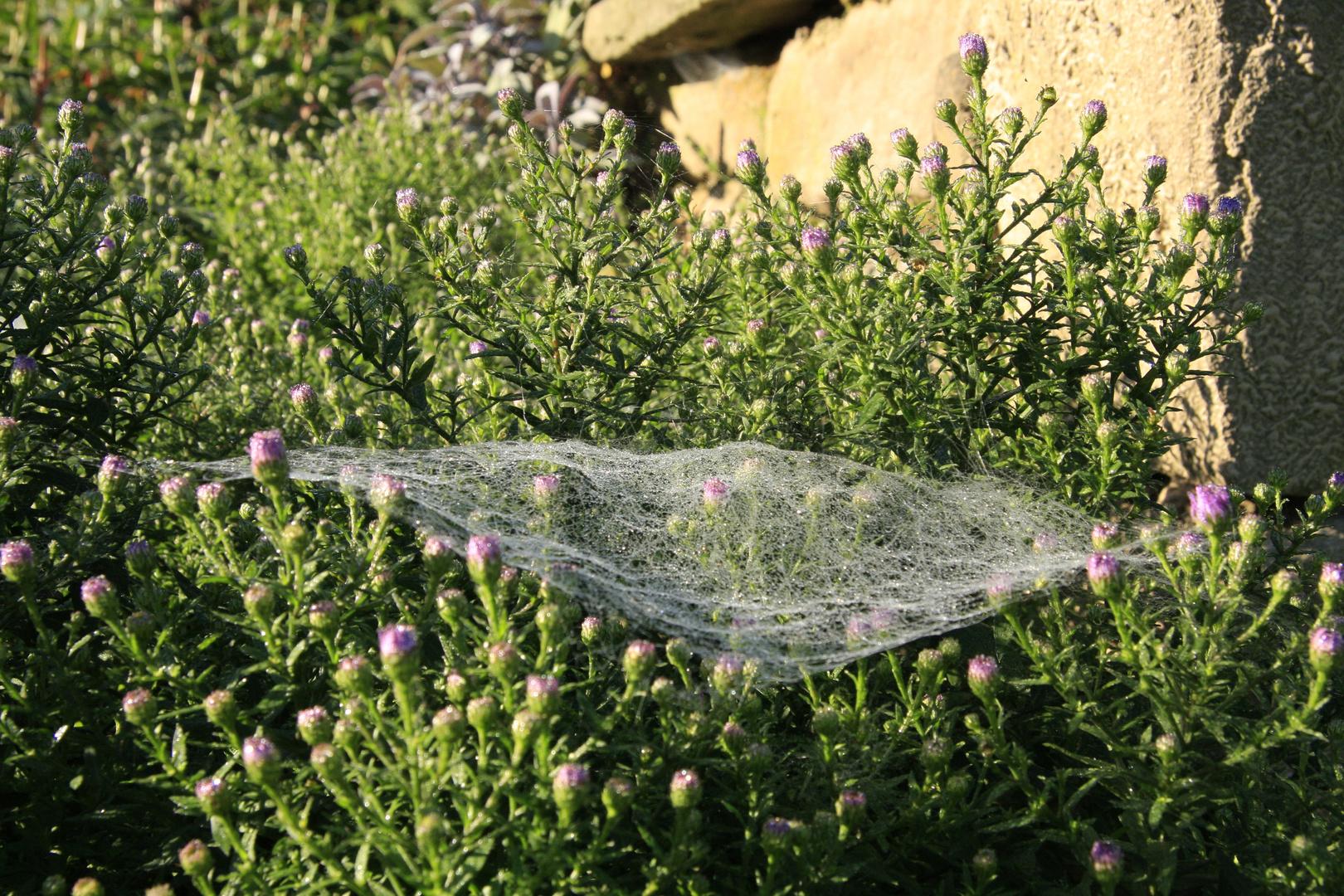Spinnennetz in der Herbstaster