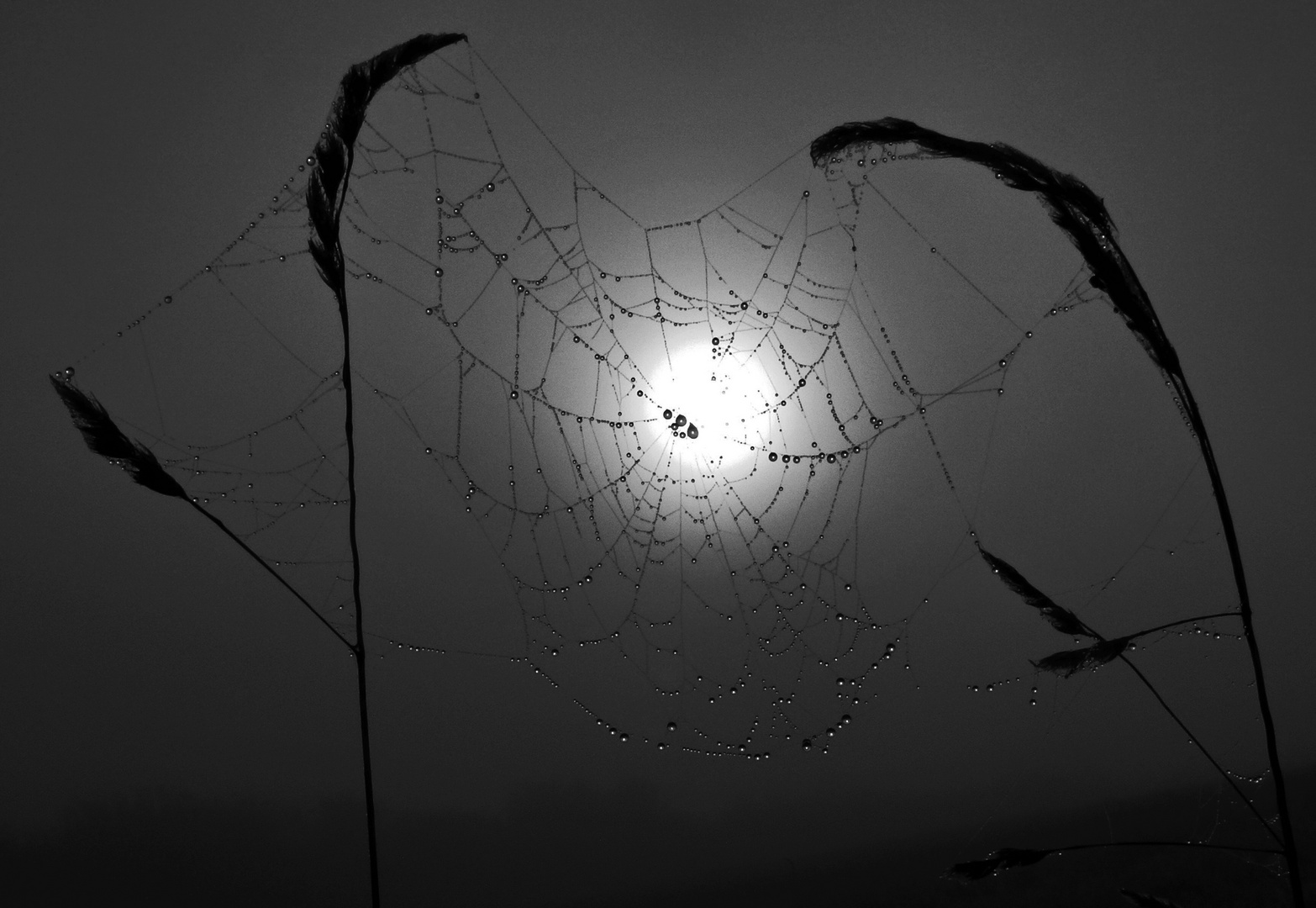 Spinnennetz mit morgentlichem Tau (schwarzweiß)