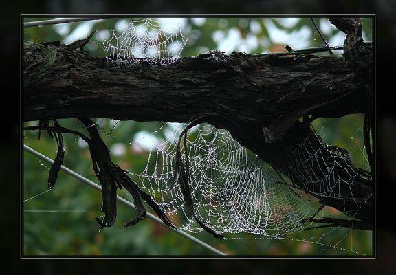 Spinnennetze an alter Weinrebe