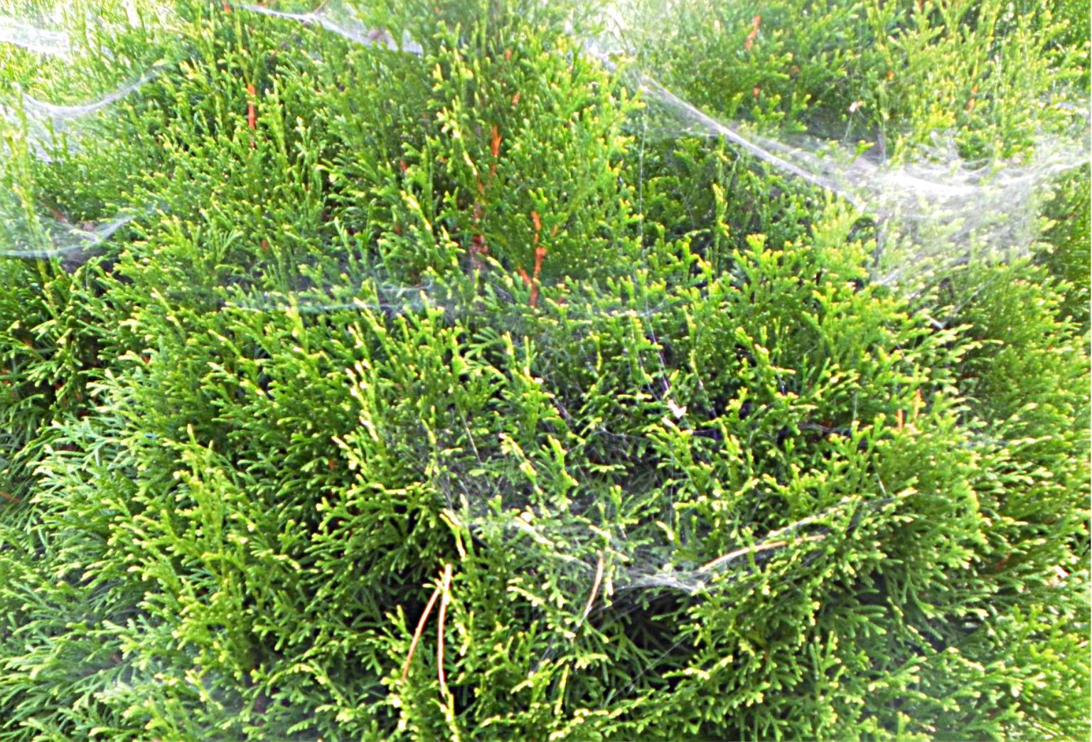 Spinnennetze im Herbst