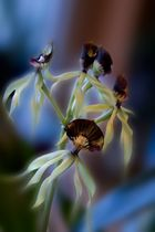 Spinnenorchidee