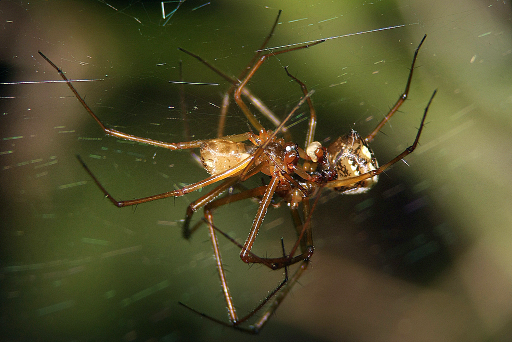 Spinnenpaarung?