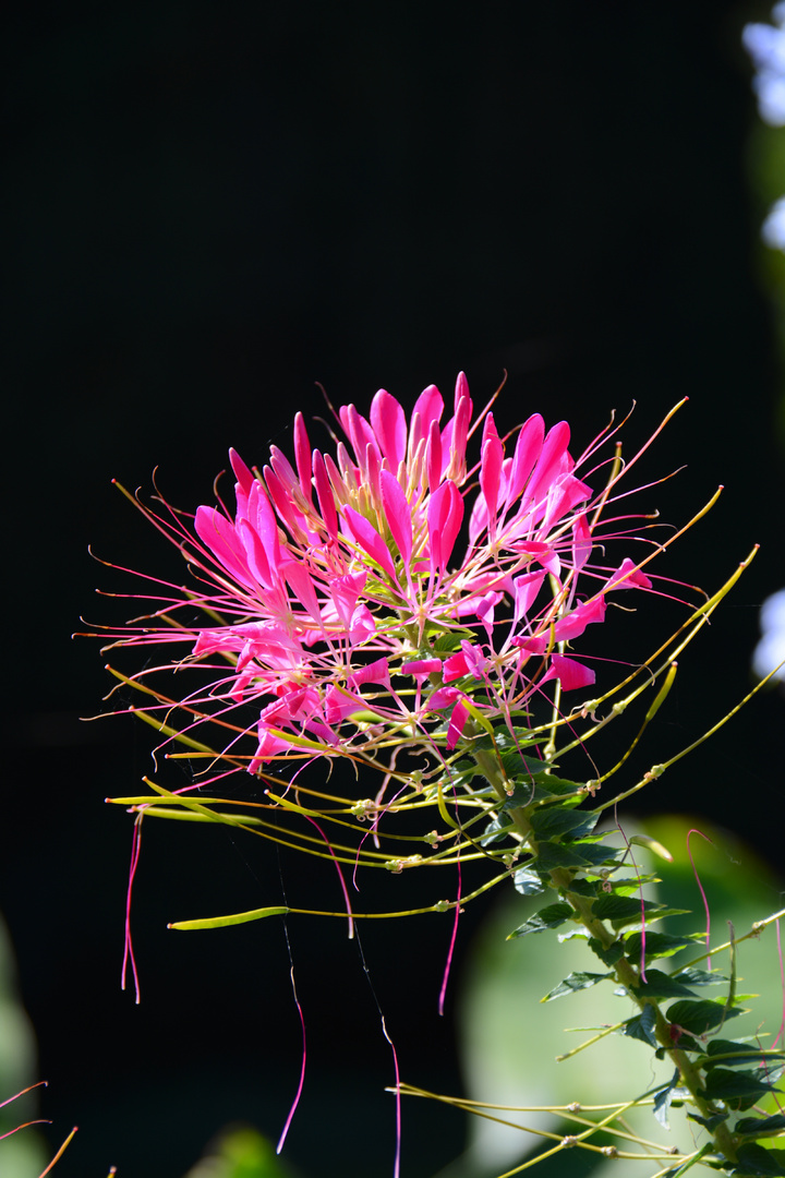 Spinnenpflanze (Cleome)