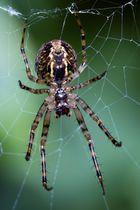 Spinnenviech