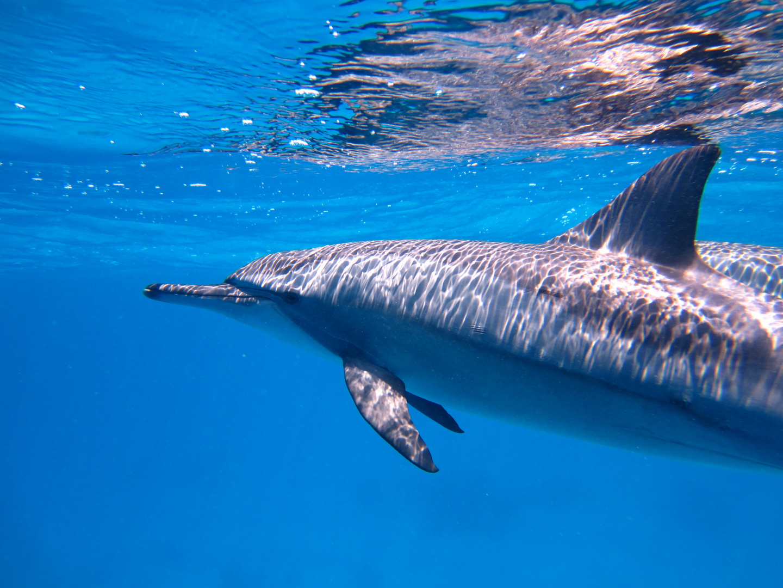 Spinnerdelfine