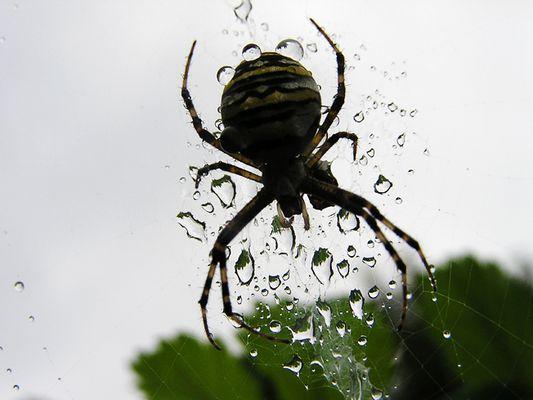 Spinne+Regentropfen