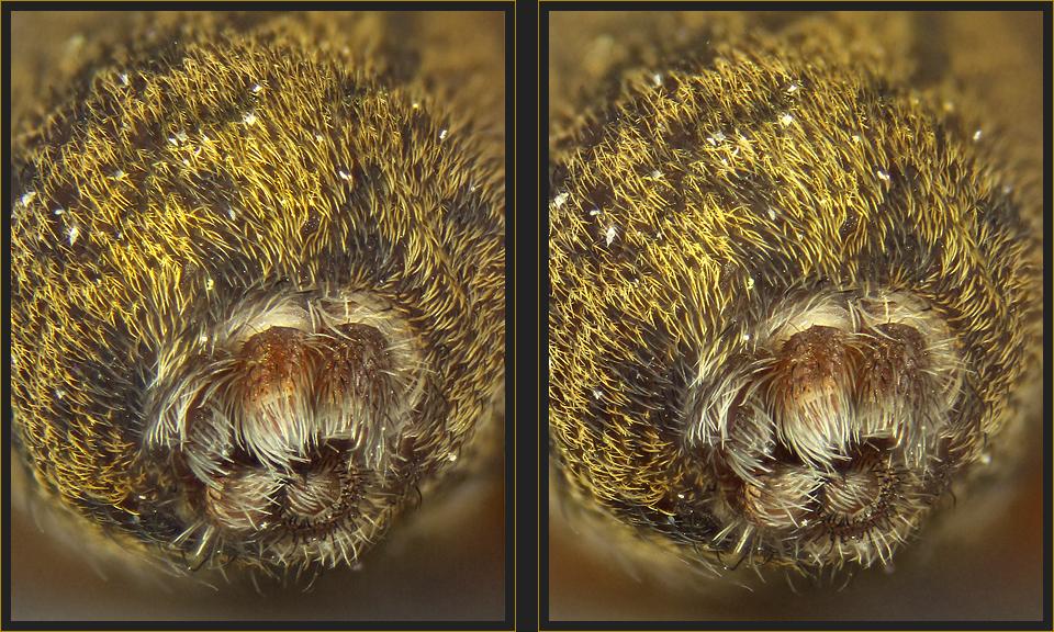 Spinnwarzen [3D]