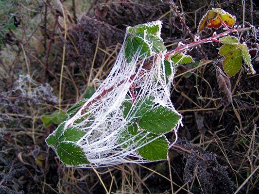 Spinnwebe mit Rauhreif