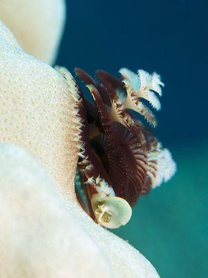 Spirobranchus