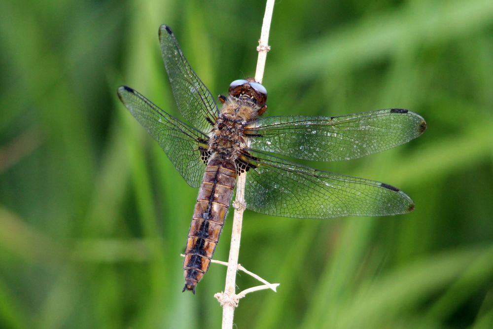 Spitzenfleck-Libelle (Weibchen)