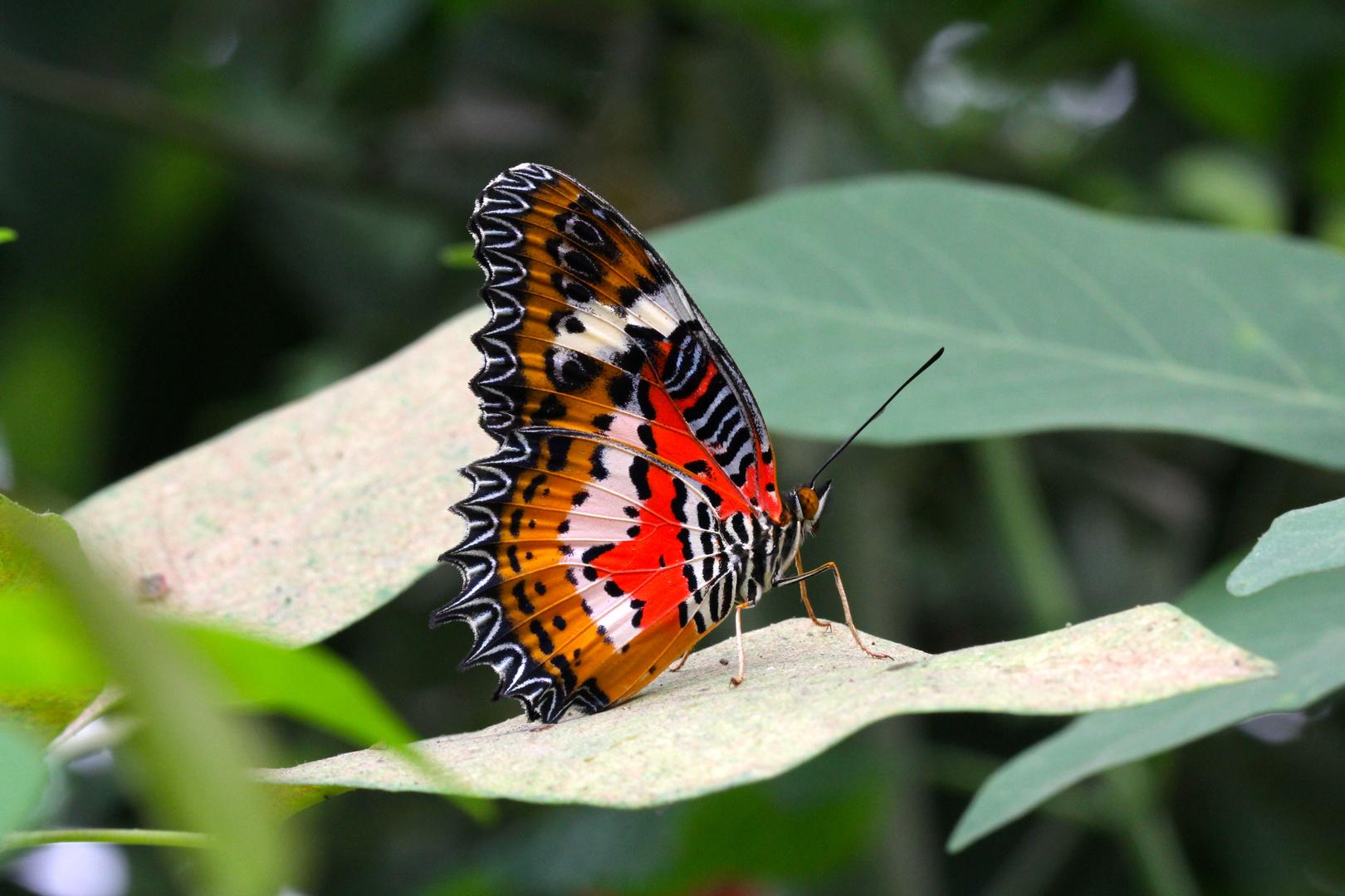 Spitzenflügel / Leopardennetzflügler im Krefelder Schmetterlingshaus