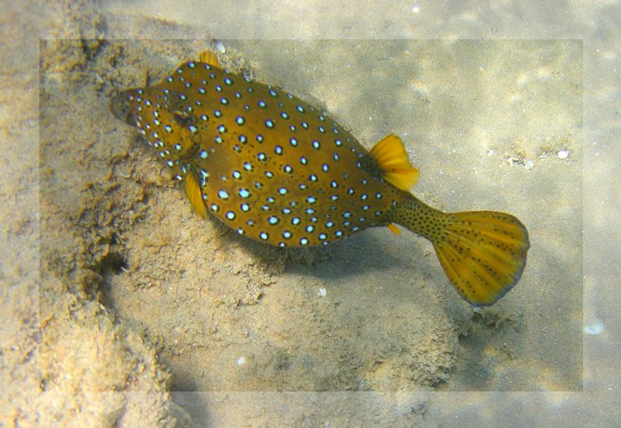 Spitzkopfkugelfisch