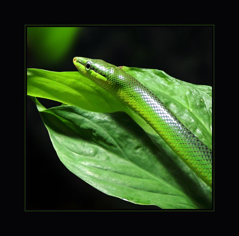 Spitzkopfnatter - Gonyosoma oxycephalum