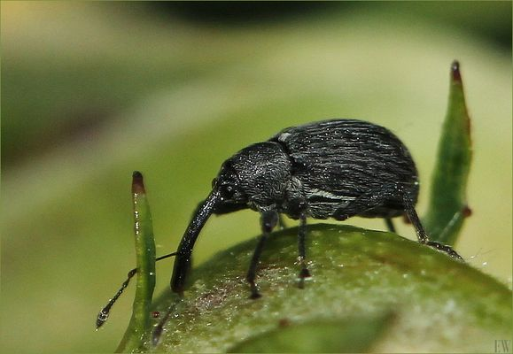 Spitzmausrüssler ( Apionidae validum )...