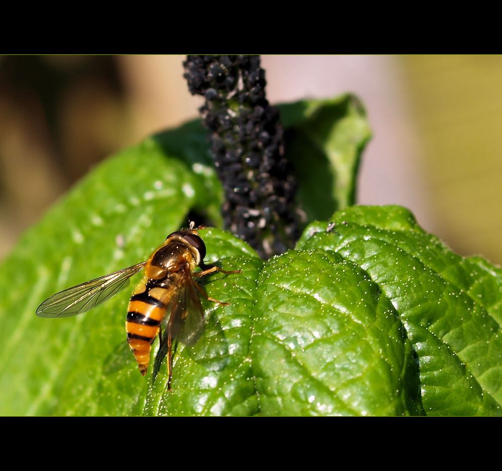 Spitzpopo Fliege ...ich kenne leider den Namen nicht...