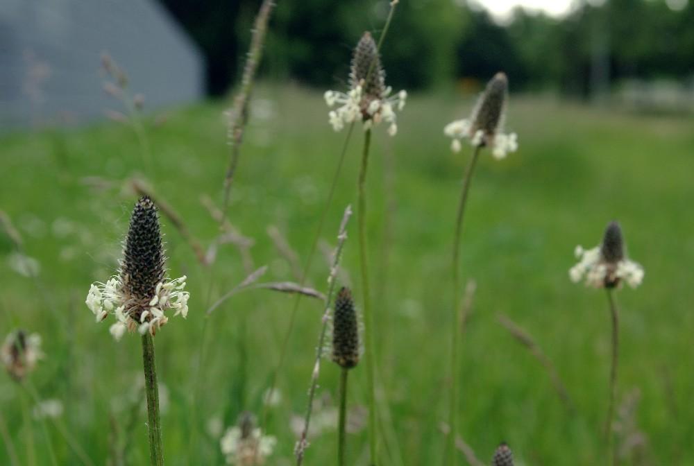 spitzwegerich am wegesrand foto bild pflanzen pilze flechten gr ser natur bilder auf. Black Bedroom Furniture Sets. Home Design Ideas