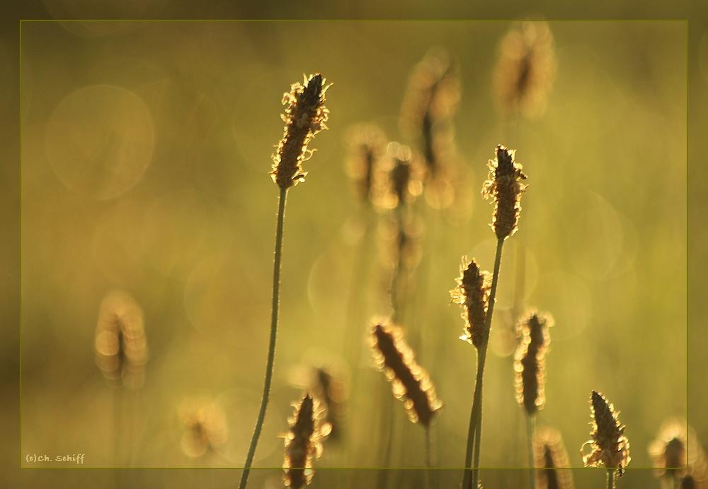 Spitzwegerich - Samenstände im der Morgensonne