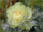 Splash Rose .....