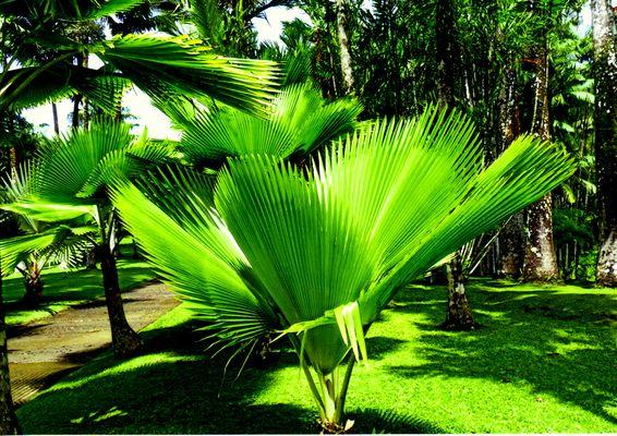 splendeur du palmier