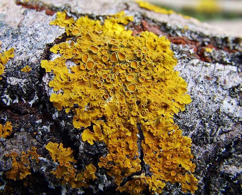 Spongebaum