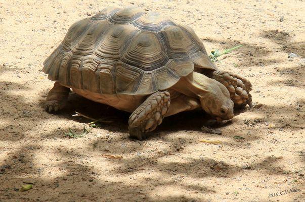 Sporenschildkröte