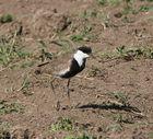 Spornkiebitz - Vanellus spinosus
