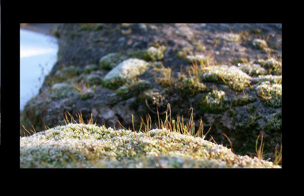Sporophytes dans l'hiver
