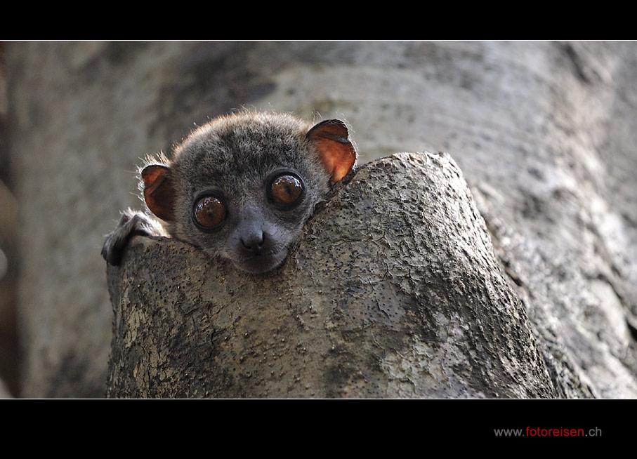 Sportive Lemur oder Lepilemur I