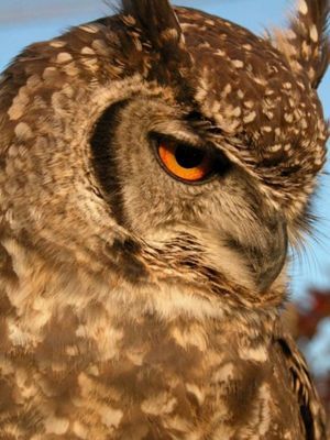 Spotted ear owl