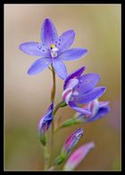 ~Spotted Sun Orchid~
