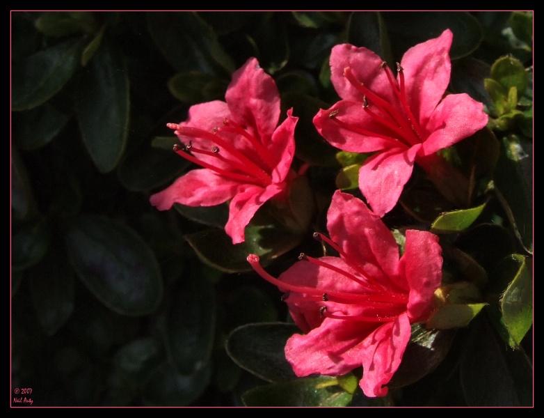Spring garden pinks